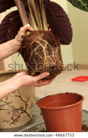 The housewife transplants a plant at home - stock photo