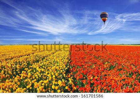 The huge field of red and orange buttercups (Ranunculus asiaticus). Wonderful spring mood, nice big balloon flies over the field. The picture was taken Fisheye lens - stock photo