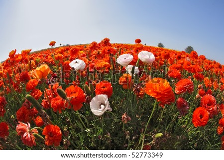 "The huge field of red  and white buttercups photographed by a lens ""Fish eye"" - stock photo"