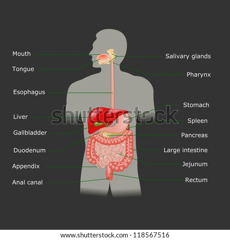 The human digestive system - stock photo