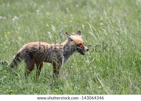 The hungry wild fox hunts on a spring meadow