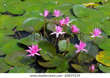 The image is in the lotus pond and the group is a cluster.