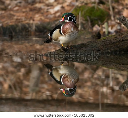 The image of a wood duck is reflected in the water of a small pond - stock photo