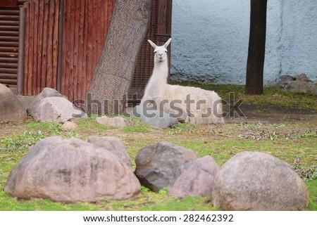 The image of llama - stock photo