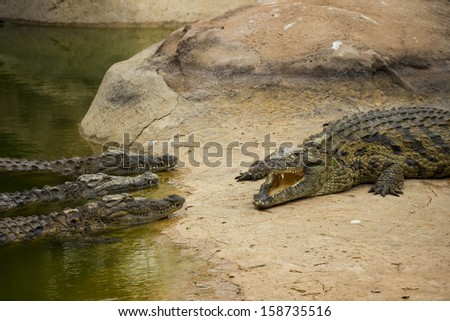 The Impression of Three Nile Crocodiles Listening to Another Crocodile