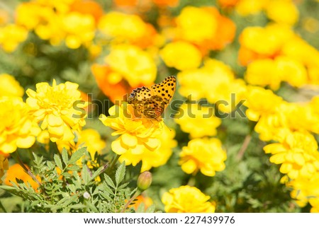 The Indian Fritillary (Argynnis hyperbius) or brush-footed colorful butterfly in japan. - stock photo
