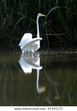 The Intermediate Egret (Ardea intermedia) seen at Lake Alice on the University of Florida campus in Gainesville, Florida on November 21, 2009. - stock photo