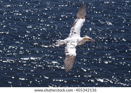 The island of Helgoland. Gannet.