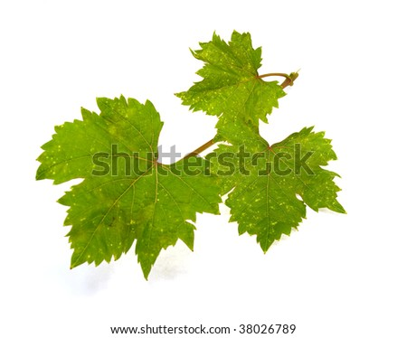 The isolated grapevine on a white background - stock photo