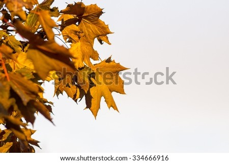 the isolated maple branches with foliage of orange color on a white background