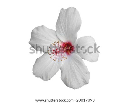 The isolated white Hibiscus on white background - stock photo
