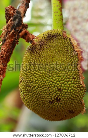 The jack fruit tree is rotten. - stock photo