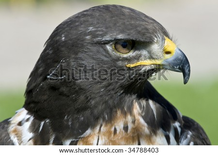 The jackal buzzard of Southern Africa is a bird of prey or raptor