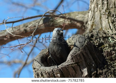 The jackdaw in a tree hollow protects a nest - stock photo