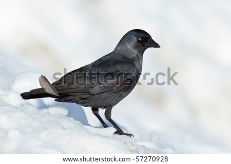 The Jackdaw, or Daw, (crow family, Corvus monedula) in the nature.