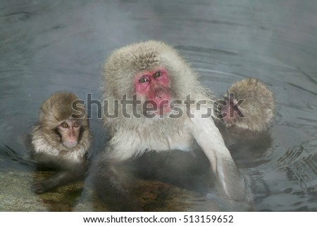 The Japanese snow monkey