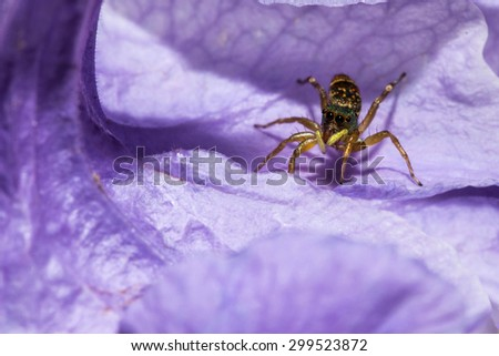 The jumping spider on violet flower - stock photo