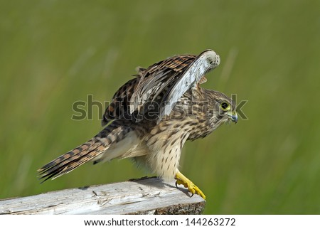 The juvenile kestrel (Falco tinnunculus) prepare to leave the wooden fence in Uppland, Sweden - stock photo