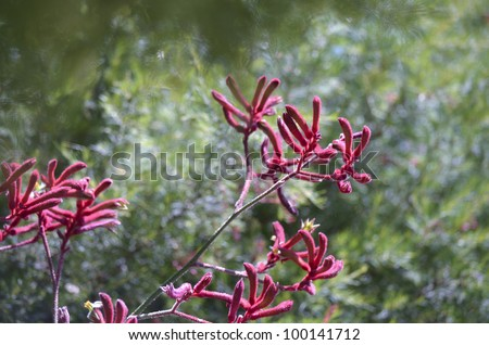 the kangaroo paw is a red flower in the shape of a kangaroo's paw - stock photo