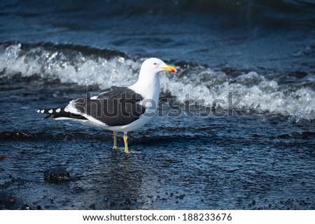 The Kelp Gull (Larus dominicanus), Deception Island, Antarctica - stock photo