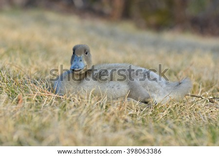 The Khaki Campbell is a breed of domesticated duck that originated in England and is kept for its high level of egg production. This duck's  egg laying production can yield about 300 eggs per year.