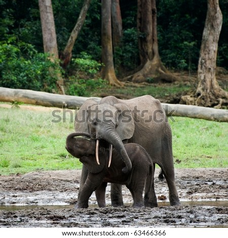 The kid the elephant calf with mum. The African Forest Elephant (Loxodonta cyclotis) is a forest dwelling elephant of the Congo Basin. - stock photo