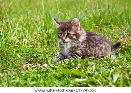 the kitten plays on a summer lawn - stock photo