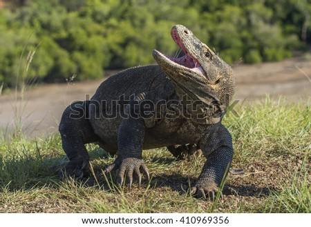 The Komodo dragon ( Varanus komodoensis ) raised the head and opened a mouth. It is the biggest living lizard in the world. Island Rinca. Indonesia. - stock photo