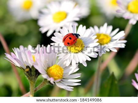 The ladybird on a daisy flower - stock photo