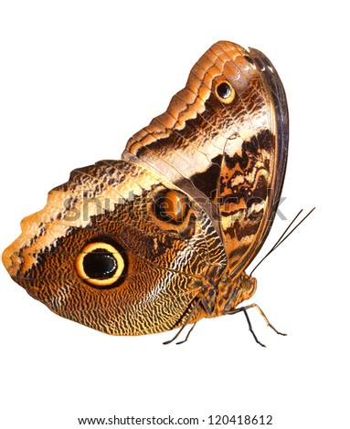 The large and magnificent owl butterfly, with large eye markings isolated against a white background. Standing, and right side view