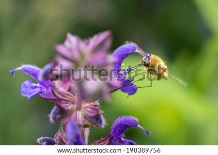 The Large Bee-Fly (Bombylius Major) Gathers Flower Pollen - stock photo
