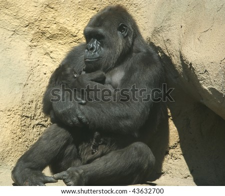The large image of a sitting gorilla coastal. Holds on hands of a cub