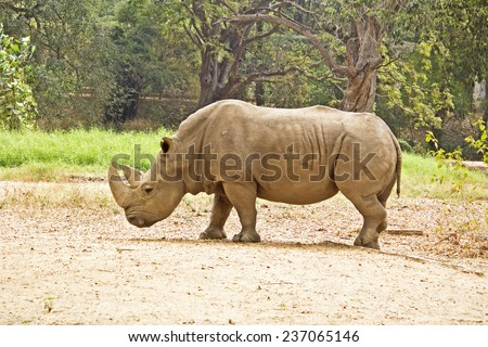 The large pasturing Indian rhinoceros