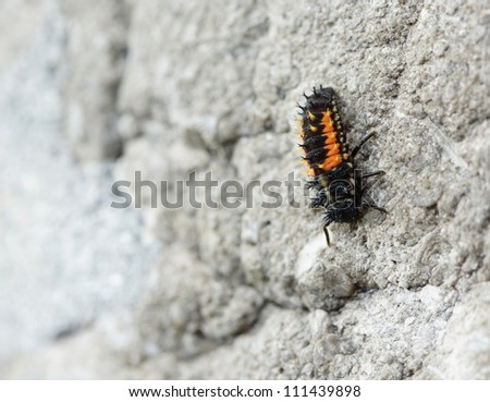 The larva of a ladybug sitting on a wall