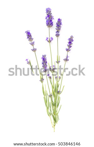 The lavender elegant card with bouquet of flowers. Lavender garland for your text presentation. Label of soap package. Label with lavender flowers.