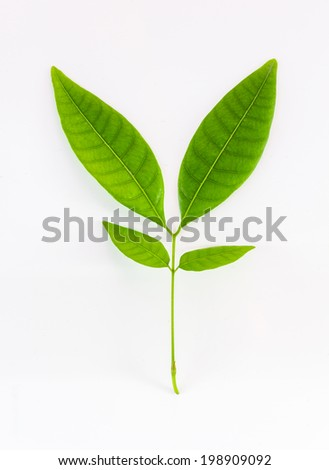 The leave on white background