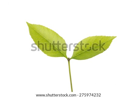 The leaves, close-up, white background