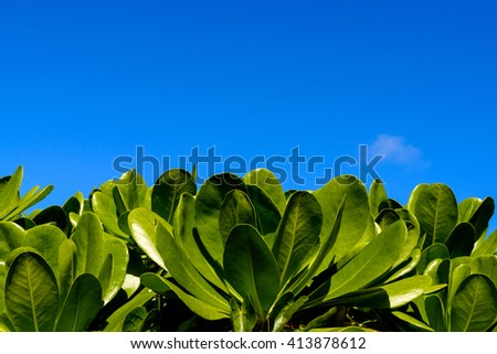 The leaves of mangrove trees against the blue sky on a sunny day. - stock photo