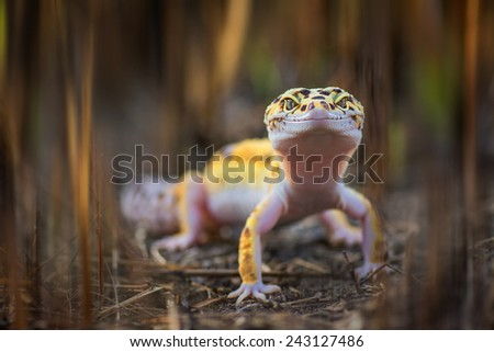 The leopard gecko is an attractive little lizard that native to the deserts of Pakistan. Image has grain or noise and soft focus when view at full resolution. (Shallow DOF, slight motion blur ) - stock photo