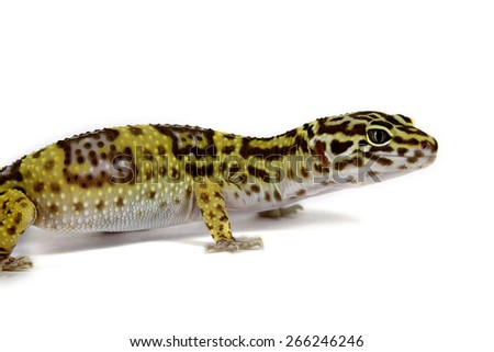 The leopard gekko, female (Tremper albino)