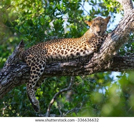The leopard lies on a large tree branch. Sri Lanka. An excellent illustration.