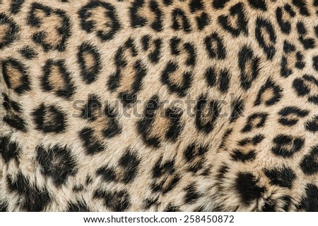 The leopard - Panthera pardus