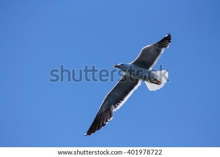 The Lesser Black-backed Gulls majestic flight. This Black-backed Gull flies very majestic style - stock photo