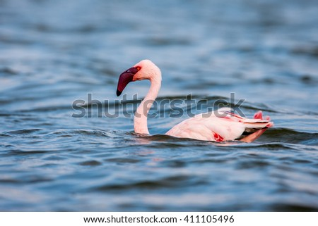 The Lesser flamingo, which is the main attraction for tourists at Lake Nakuru  - stock photo