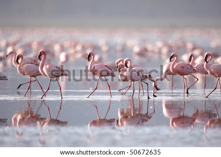 The Lesser flamingo, which is the main attraction for tourists at Lake Nakuru National Park, Kenya - stock photo