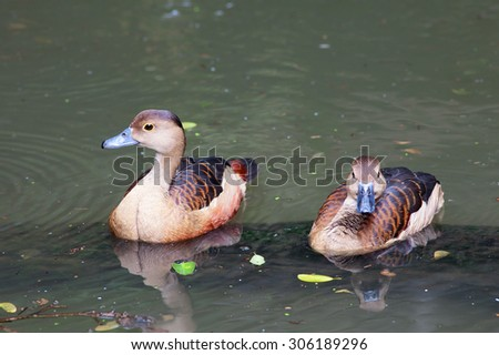 The lesser whistling duck (Dendrocygna javanica), Indian whistling duck or lesser whistling teal, is a species of whistling duck that breeds in the Indian Subcontinent and Southeast Asia. - stock photo