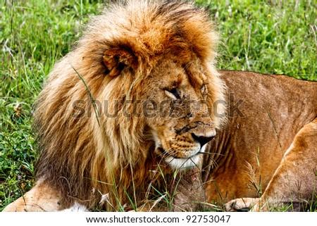 The Lion in the Masai Mara park - stock photo