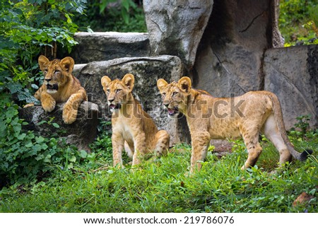 The lion in the zoo. - stock photo
