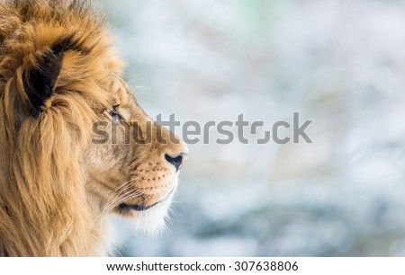 The Lion in the zoo - stock photo