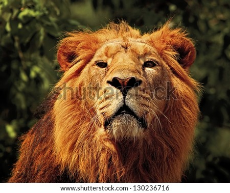 The lion (Panthera leo), a big member of the family Felidae - stock photo
